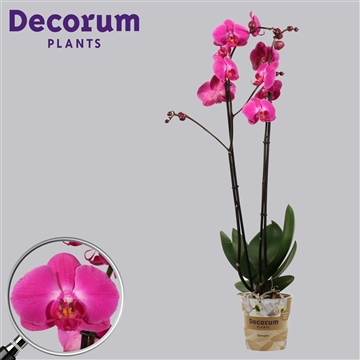 Phalaenopsis 2 tak Atlantis (Russia Decorum)