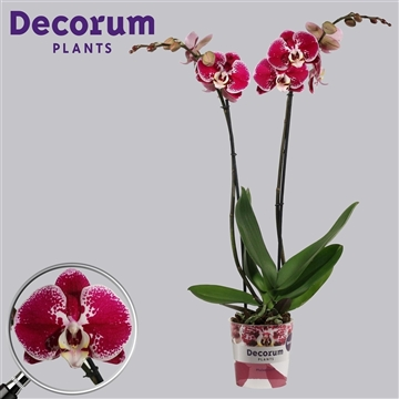 Phalaenopsis 2 tak Compilation (Decorum)