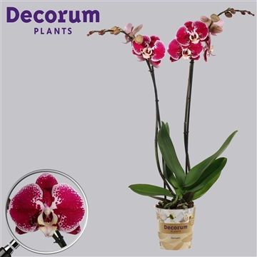 Phalaenopsis 2 tak Compilation (Russia Decorum)
