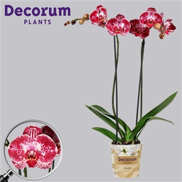 Phalaenopsis 2 tak Julia (Russia Decorum)