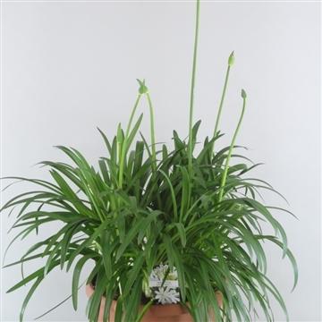 Agapanthus Whitney 4+ Bloem 33 cm Pot