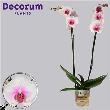 Phalaenopsis 2 tak Mountion (Russia Decorum)