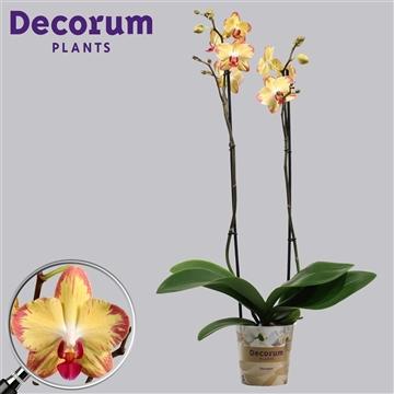 Phalaenopsis 2 tak Papagayo (Russia Decorum)