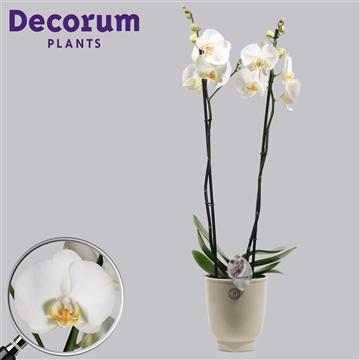 Phalaenopsis 2 tak wit in Anne Sophie (Decorum)