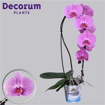 Phalaenopsis Cascade Paars  Decorum