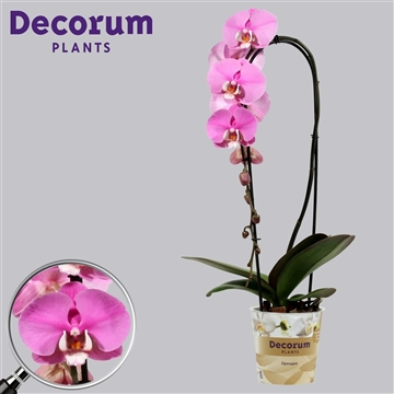 Phalaenopsis cascade 1 tak Luxor (Russia Decorum)