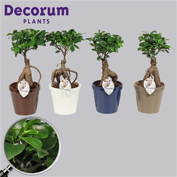 Ficus Microcarpa Ginseng geënt 12 cm in Conica (Decorum)