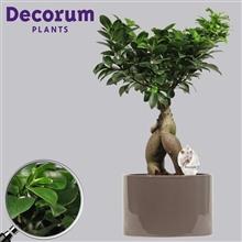 Ficus Microcarpa Ginseng geënt 19 cm in Grey (Decorum)