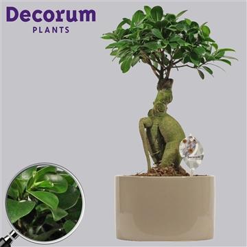 Ficus Microcarpa Ginseng geënt 19 cm in Taupe (Decorum)
