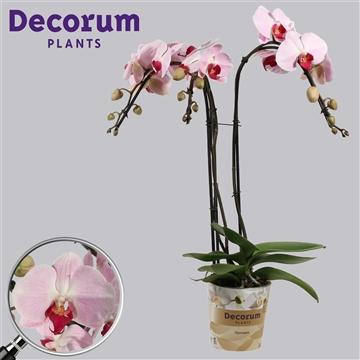 Phalaenopsis umbrella Cyrene 3 tak (Russia Decorum)
