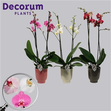 Phalaenopsis 2 tak mix in Anne Sophie (Decorum)