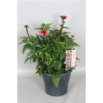 Echinacea purpurea Mooodz Cosy