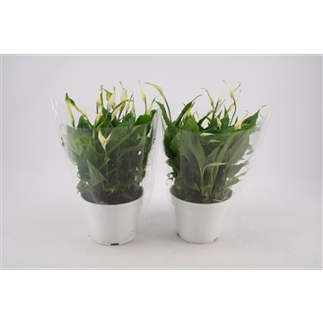 Spathiphyllum 17 cm 'Chopin®' Specialy Selected