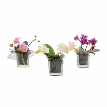 Phalaenopsis Multifloratypes overig wit