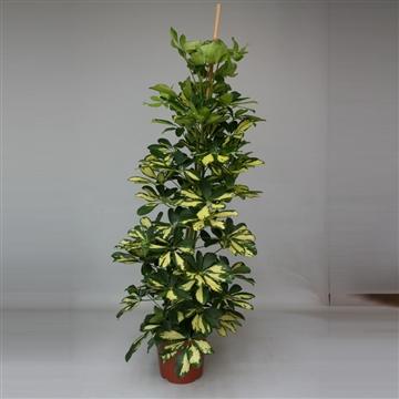 Schefflera arboricola 'Dalton - Gold Capella'
