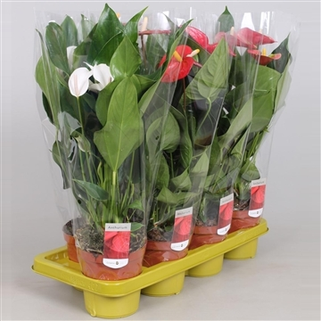 "Anthurium ""basis"" mix"