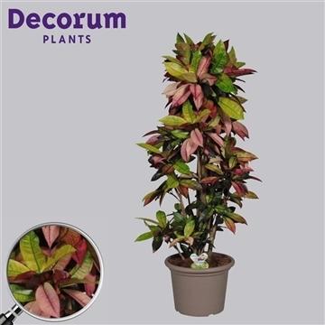 Croton Mrs. Iceton vertakt in deco pot 130-140 cm (Decorum)