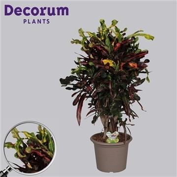 Croton Mammi vertakt in deco pot (RUSSIA)