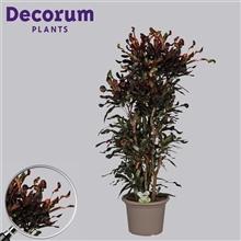 Croton Mammi vertakt in deco pot 130-140 cm (RUSSIA)
