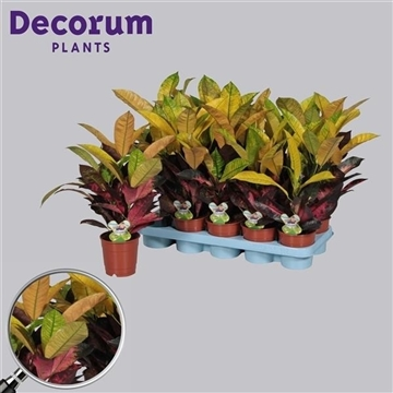 Croton Mrs. Iceton kopstek 3-5pp (RUSSIA)