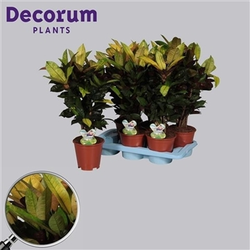 Croton Mrs. Iceton vertakt (RUSSIA)