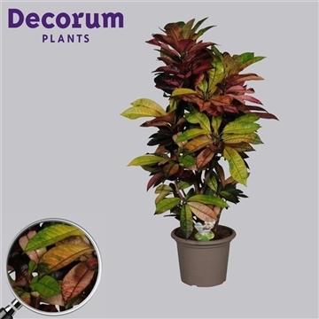 Croton Mrs. Iceton vertakt in deco pot 100-110 cm (RUSSIA)