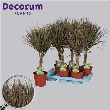 Drac Bicolor 30 cm vlecht (Decorum)