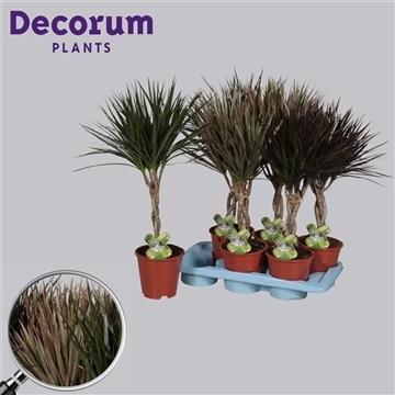Drac marg. vlecht mix (Decorum)