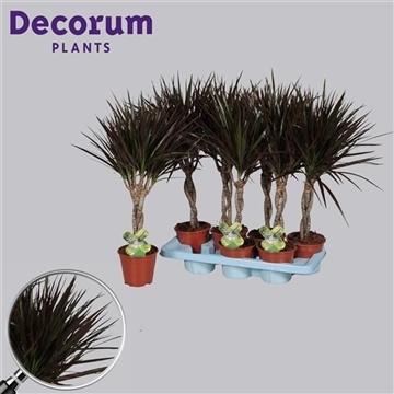 Drac Magenta 30 cm vlecht (Decorum)