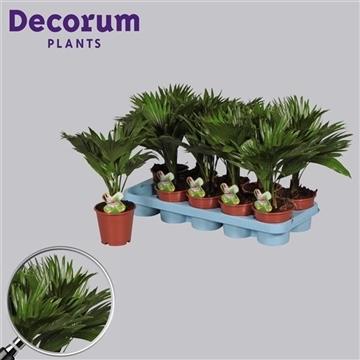 Livistona rotundifolia (Decorum)