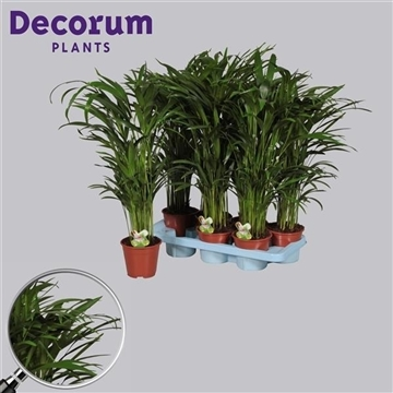 Dypsis lutescens (Areca) 30+ zaden (RUSSIA)