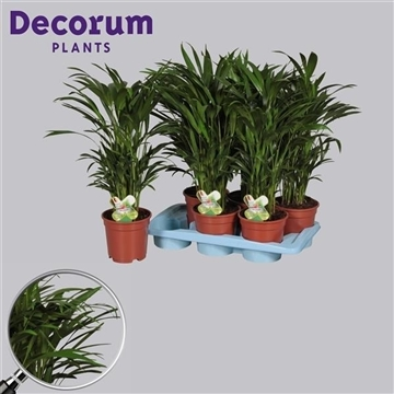 Dypsis lutescens (Areca) 45+ zaden (RUSSIA)