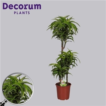 Drac Lemon Surprise 60-30-15 cm stam (Decorum)