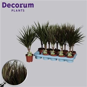 Drac marg. 10 cm stam mix (2-3 soorten) 4+ kop (Decorum)