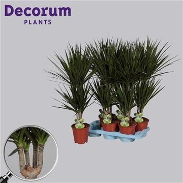 Drac Marginata 30-10 cm stam 4+ kop (Decorum)