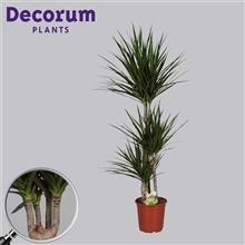 Drac Marginata 60-30-15 cm stam 4+ kop (Decorum)