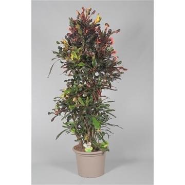 Croton Mammi zwaar vertakt 160-170 cm in deco pot (Decorum)