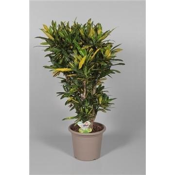 Croton Sunny Star vertakt in deco pot (Decorum)