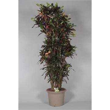 Croton Mammi SUPER zwaar vertakt 190-200 cm (Decorum)