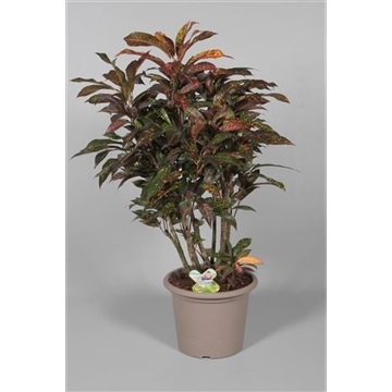 Croton Freckless zwaar vertakt (Decorum)