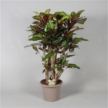 Croton Excellent vertakt in deco pot (RUSSIA)
