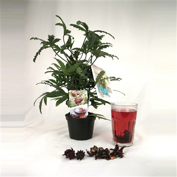 Hibiscus Sabdariffa 'Tea Plant'