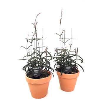 Kalahari, Bryophyllum Scandens w/espalier - dump in a 13,5 cm clay pot