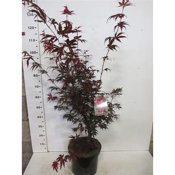 Acer palmatum 'Pixie' 80-100,P28