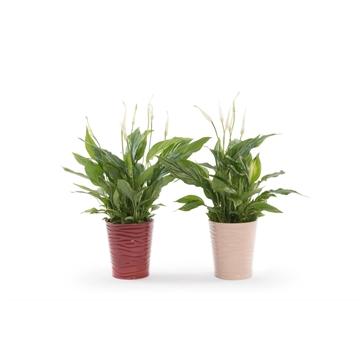 Spathiphyllum13 cm 'Bellini®' in Sonora