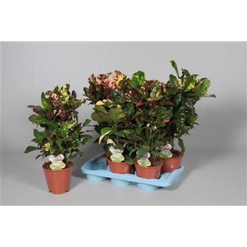 Croton Magnifcent vertakt (RUSSIA)