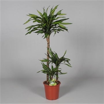Dracaena Riki 60-30-15 cm stam (Decorum)