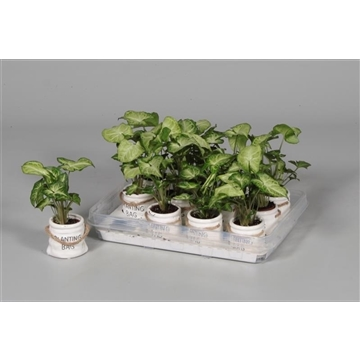 Tiny Carly (Syngonium) in Planting Bag keramiek wit (Decorum)