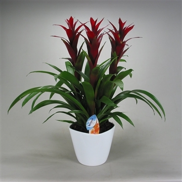 Guzmania Switch Forma Wit