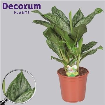 Aglaonema Greenlight (Decorum)